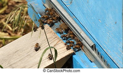 Hive. The bees in the apiary