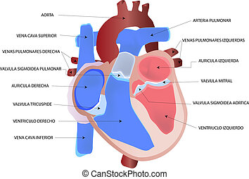 Human heart | - Drawing the human heart in spanish