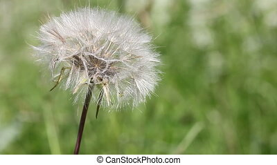 Close-up of dandelion clock ,on green blurry background