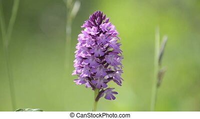 wild orchid of Germany