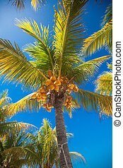 Tropical coconut palm tree with yellow coconut against the...