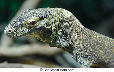 Komodo Dragon - Young Komodo Dragon head