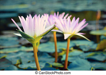 Close-up ofl pink water lily Vintage tone style