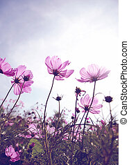 Vintage Cosmos flowers and sky
