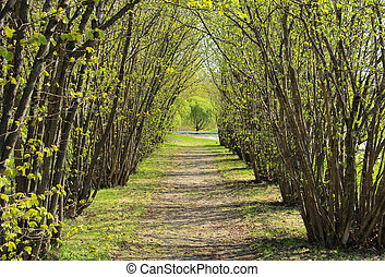 Hazel tree avenue in early spring a sunny day