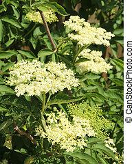 Elder - Sambucus nigra - Elder blossom in summer - Sambucus...