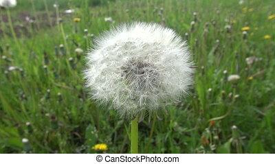 spring dandelion flower with seeds - spring dandelion flower...
