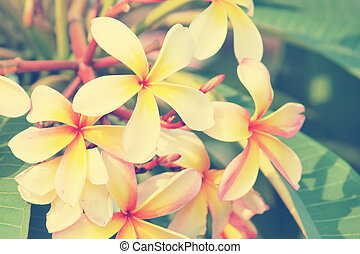 Branch of tropical flowers frangipani Vintage Tone