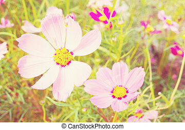 Cosmos flowers on vintage tone