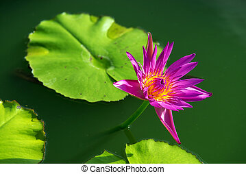 Close-up of colorful purple water lily