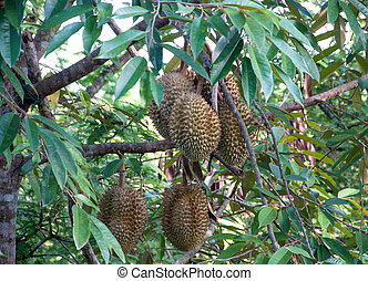 durian tree in the garden of Thailand