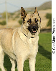 German Shepherd Dog (fawn) - A young, beautiful, black and...