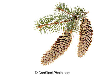 spruce branch with two cones on white background