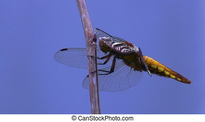 Dragonfly isolated on blue - Closeup view of a dragonfly...