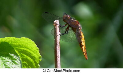 Dragonfly on stem - Dragonfly takes off from the stem and...