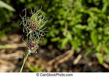 Wild Onion Plant - Wild onion closeup in garden