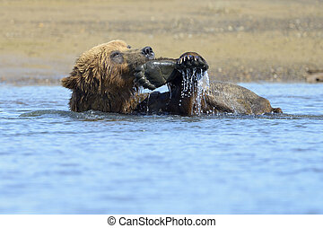 Grizzly Bear playing with feet in water