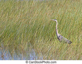 Great Blue Heron in Reeds - A great blue heron in the reeds...
