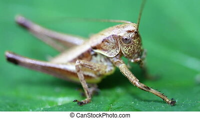Short probe cricket - caelifera - Field grasshopper in a...