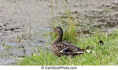 duck female mallard with duckling - Wild duck female mallard...