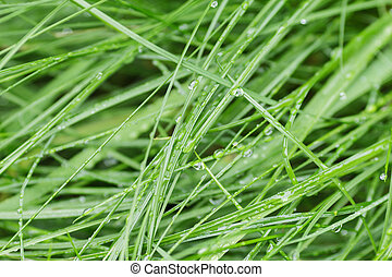 fresh wet grass after rain