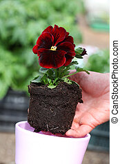 Seedling of red pansy - Potting seedling of red pansy