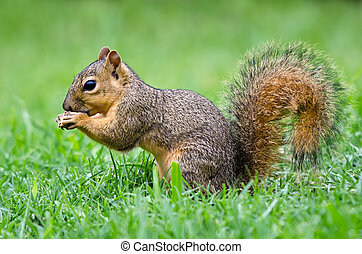Young Fox squirrel Sciurus niger - Young Eastern Fox...