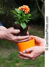 Putting dahlia into flowerpot - Putting orange dahlia...