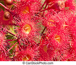 red flowers gum tree eucalyptus - Summer red flowers gum...