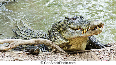 Saltwater Crocodile in Australia - Close up of saltwater...