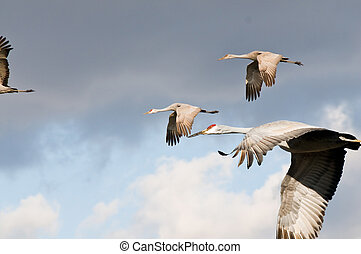 Cranes - A shot of some cranes flying over