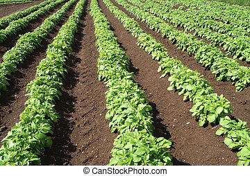 Un, campo, verde, vegetal, cosechas