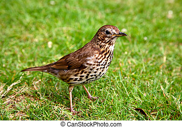 A friendly song thrush in an English garden