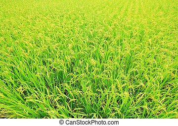 rice ( paddy ) growing in the field