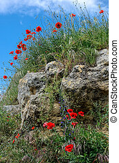 Poppies growing in Val d'Orcia Tuscany