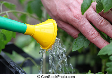 Watering tomato seedlings - Watering fertilized tomato...