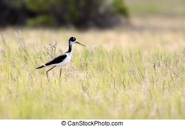 Black necked stilt - A black necked stilt with long legs...