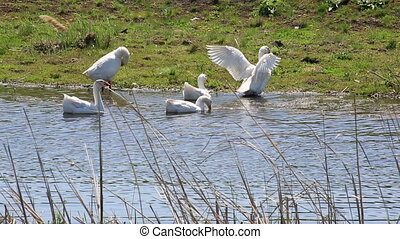White domestic geese splash