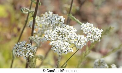 common yarrow, medicinal plant