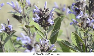 sage, medicinal plant