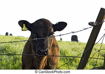Curious calf looking through barbed wire fence