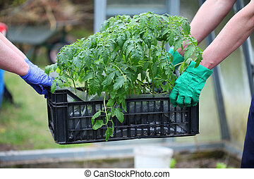 Gardeners carries box with tomatoes - Gardener carries box...
