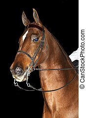 Saddlebred horse in English livery