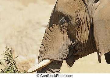 Elephant closeup - Elephant browsing in closeup