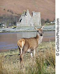 Castle at Lochranza in Scotland - female Red deer standing...