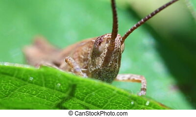 Short probe cricket - macro - Field grasshopper in a super...