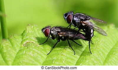 Gray flesh fly - pairing - Gray flesh fly - Sarcophaga...