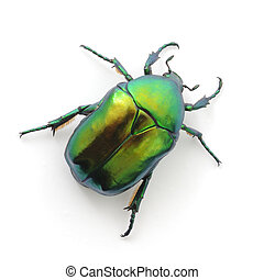 green beetle insect rose chafer (cetonia aurata) isolated on...