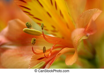 Closeup of orange Peruvian lily flower - Macro of orange and...
