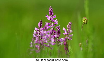 Beautiful wild flowers closeup (Polygala amara)